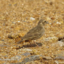 Ashy Crowned Sparrow-Lark (immature)