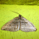 Banded Moth