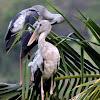 The Asian openbill stork