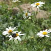 Chafer beetle on mayweed flowers