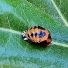 Ladybug (Pupal stage)