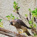 Falcão-peregrino