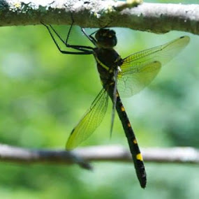 Dragonfly hanging from branch of apple tree. by Priscilla Capelle-Haehn - Animals Insects & Spiders