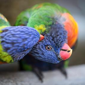 Parrots by Daniel Craig Johnson - Animals Birds ( parrots, parrot, wildlife, africa, birds,  )