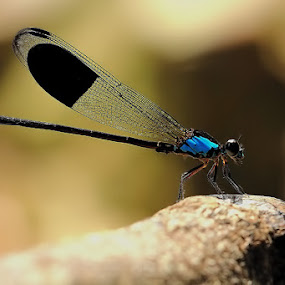 Blue Demoisele by Fadel Satriawan - Animals Insects & Spiders