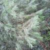 Common Yew