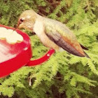 Rufous Hummingbird (imm. male)