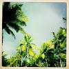 Coqueiro (Coconut Tree)