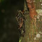 Cigarra / Cicada