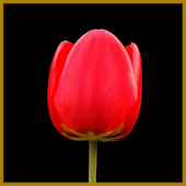 Tulip Flower Live Wallpapers