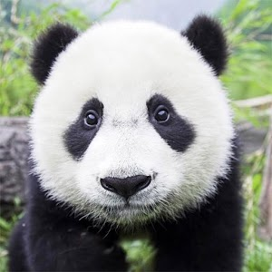 Panda Gallery HD apk