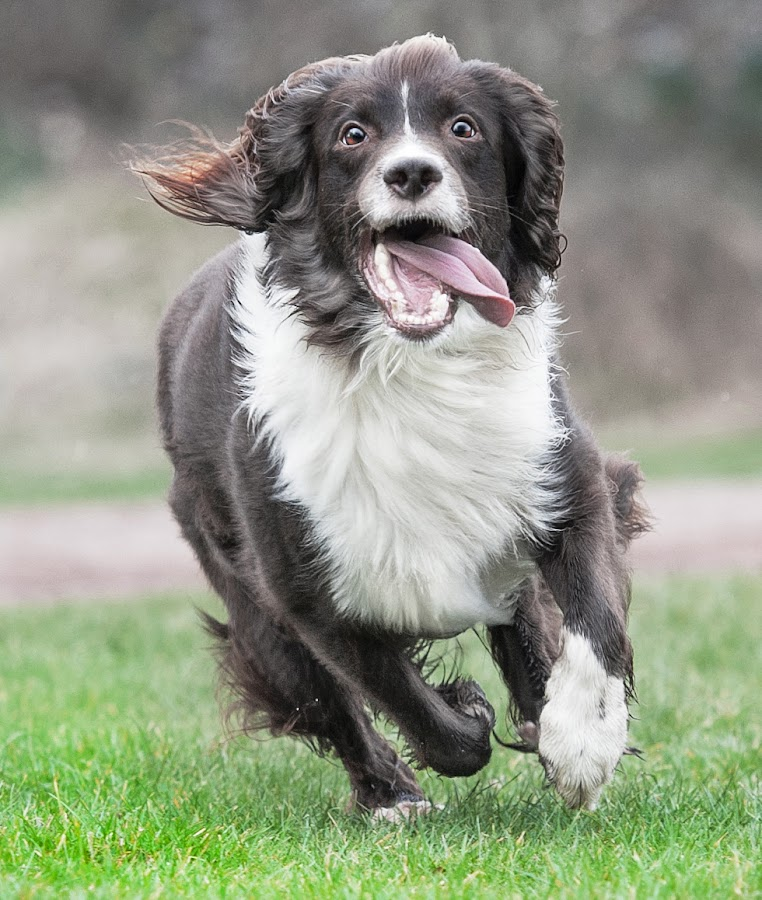 springer spaniel  by Michael  M Sweeney - Animals - Dogs Running ( doggie, natural light, dog park, d3, doggy, springer spaniel, dogs running, dog playing, michael m sweeney, dog, eyes )