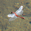White-faced Meadowhawk Skimmer