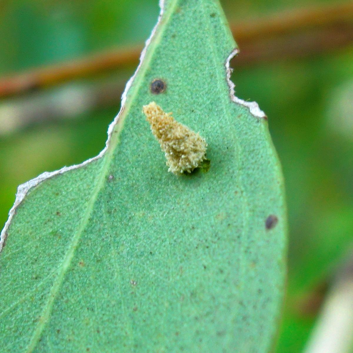 Cone Case Moth (larva)