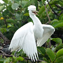Cattle egret (fledglings) #2