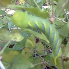 Asian Death-head Hawk Moth