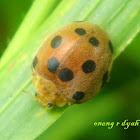 Plant eating lady beetle
