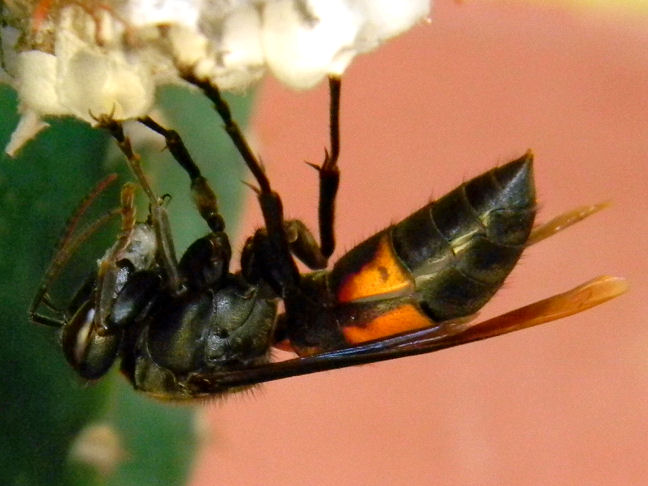 greater banded hornet preying on wasp larvae