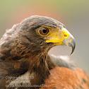 Harris Hawk or Harris' Hawk