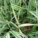 Albino Ribbon Grass