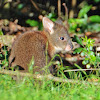 Red-necked pademelon (juvenile)