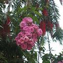 Creeper Rose