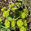 Geraldton Carnation Spurge