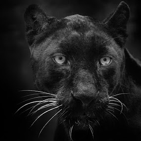 I Can Stare for a Thousand Years by Michael Pachis - Black & White Animals ( big cat, memphis zoo, africa, black leopard, leopard, black and white, animal )