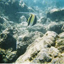 Moorish Idol Fish