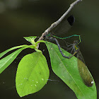 Sparkling Jewelwing pair