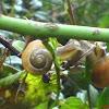 Burgundy snail, Roman snail, edible snail