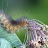 Saltmarsh Tiger Moth Caterpillar