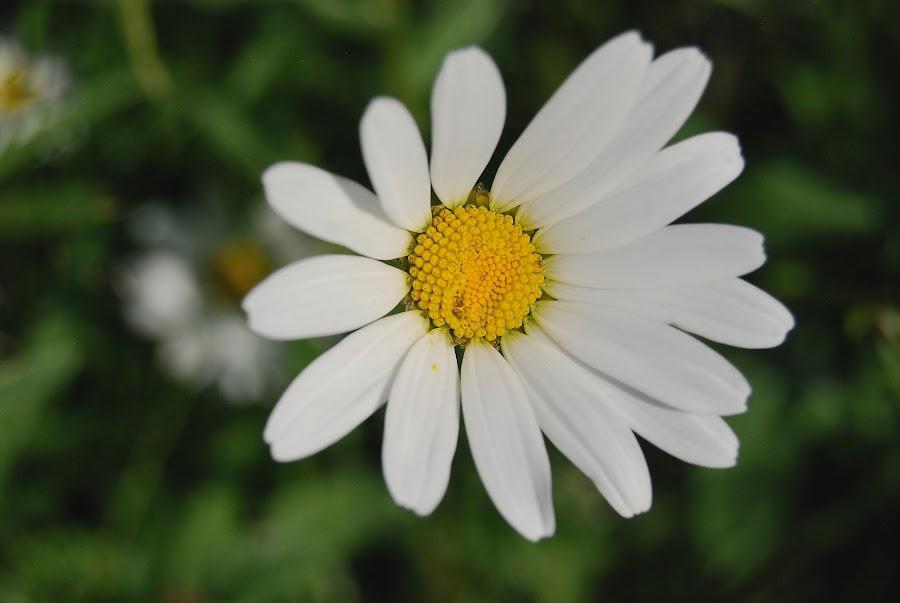 Summer  by Aleksandra Kendel - Flowers Single Flower (  )