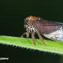 Endoiastine treehopper
