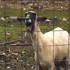 Epic Goat icon