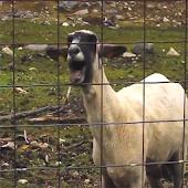 Epic Goat