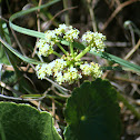 Largeleaf Pennywort