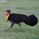 Australian Brush-turkey (male)