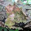 Parchment fungi sp.