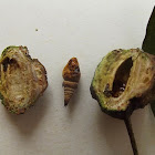 Gall-inducing Scale Insect