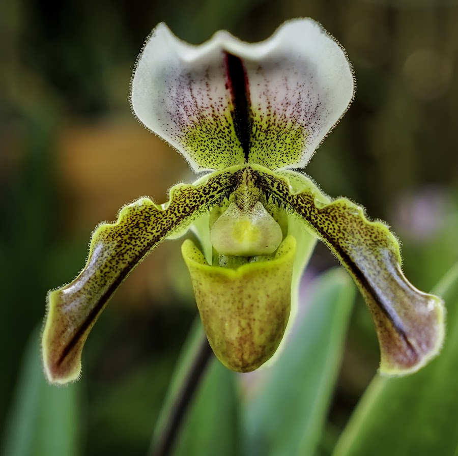Another Fuzzy Orchid by T. Rich - Flowers Single Flower ( orchid nature colorful flower petals )
