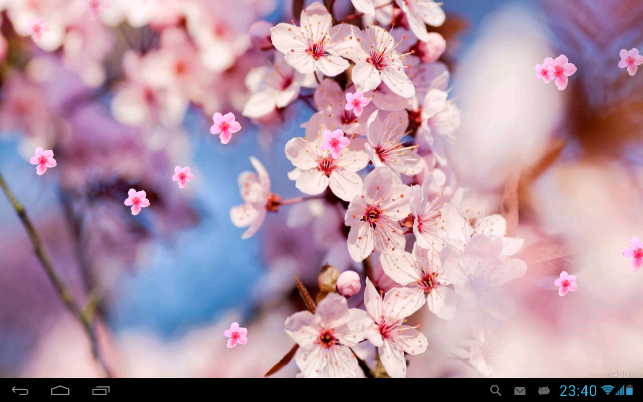 japanese cherry blossom desktop wallpaper