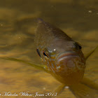 Sunfish; Bluegill