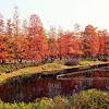 Deciduous Cypress (落羽松)