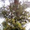 Silver Oak, Grevillea