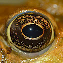 Green frog (male)