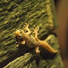 European leaf-toed gecko