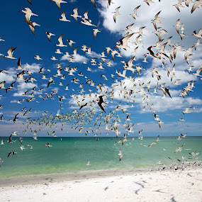 Skimmers Clam Pass by Frank E. LaPorta - Animals Birds