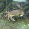 Boi de mar (gl), Buey de mar (es), edible crab or brown crab (uk)