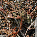 Western Leopard Toad